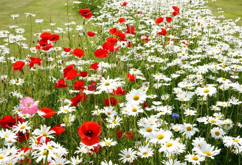 good plantes vivaces plein soleil 5 fleurs de milieu. Black Bedroom Furniture Sets. Home Design Ideas